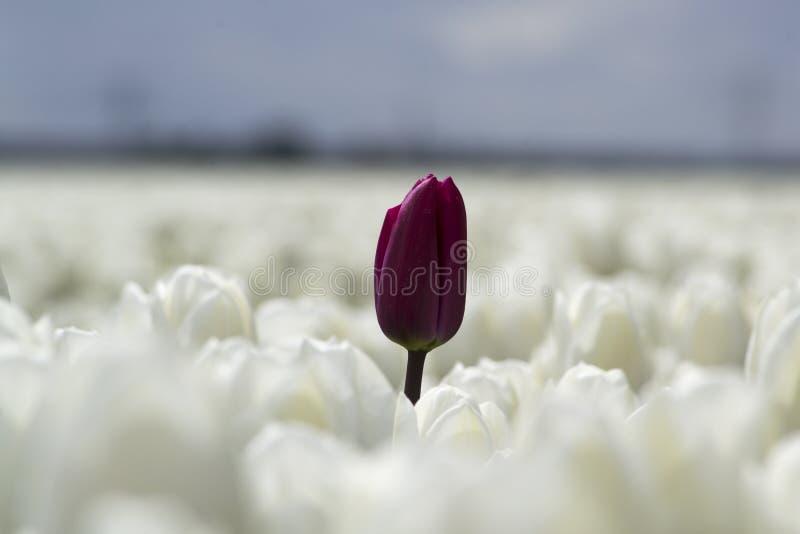 Rode tulp op een wit tulpengebied royalty-vrije stock foto
