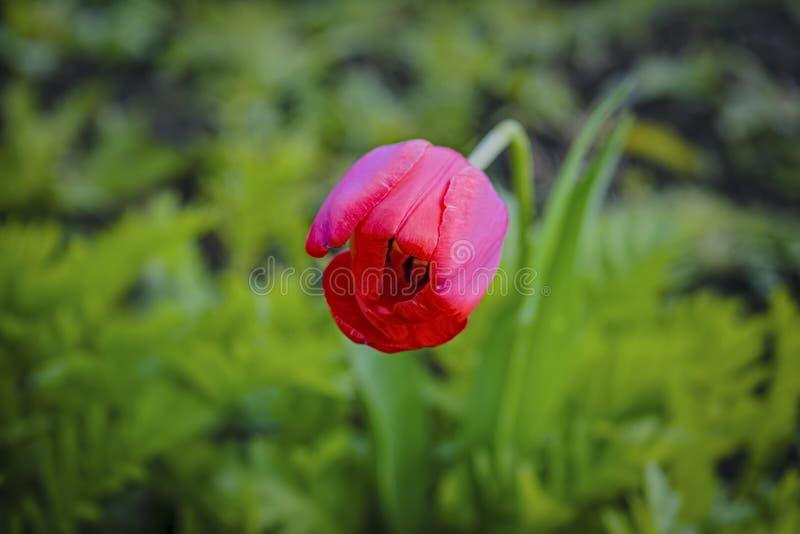 Rode tulp op vage achtergrond Rode tulp op groen gebied Sluit omhoog van mooie tulpenbloem op tulpengebied met onduidelijk beelda stock foto's