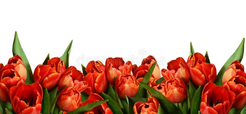 Rode tulpbloemen in een grensregeling stock afbeeldingen