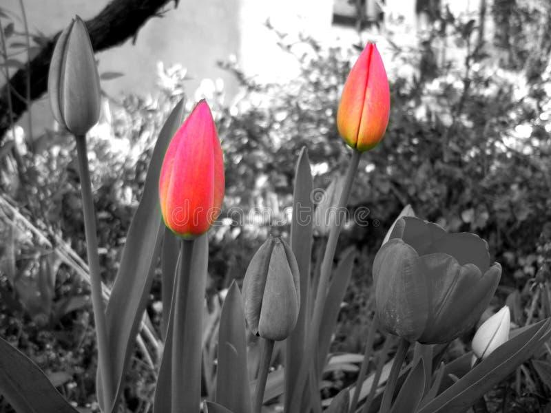 Rode tulpen stock foto's