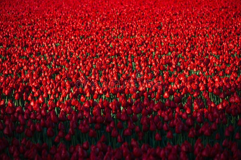 Rode tulpen stock fotografie