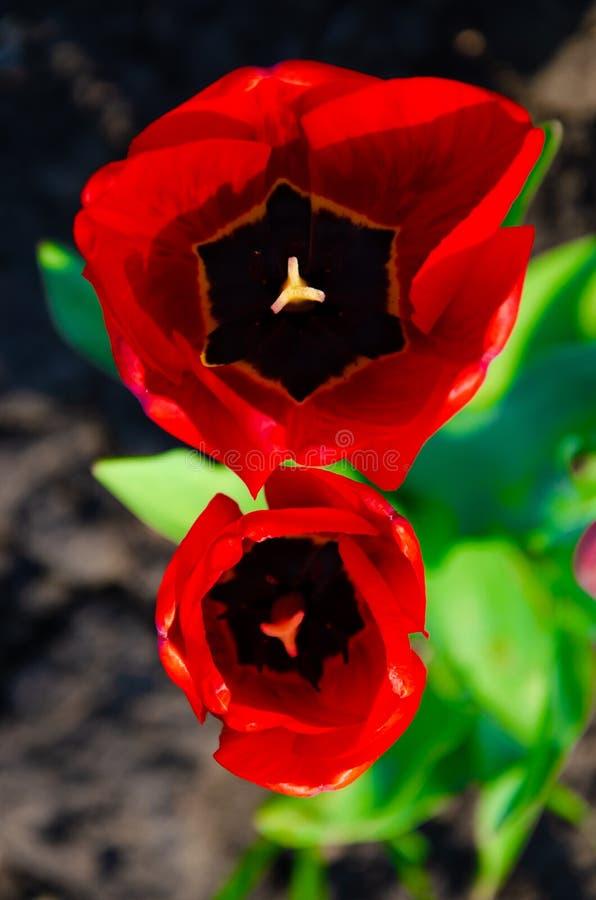 Rode tulpen in close-up Open en gesloten knoptulp stock afbeelding