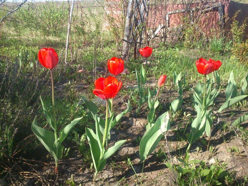 Rode tulpen in de tuin stock afbeelding
