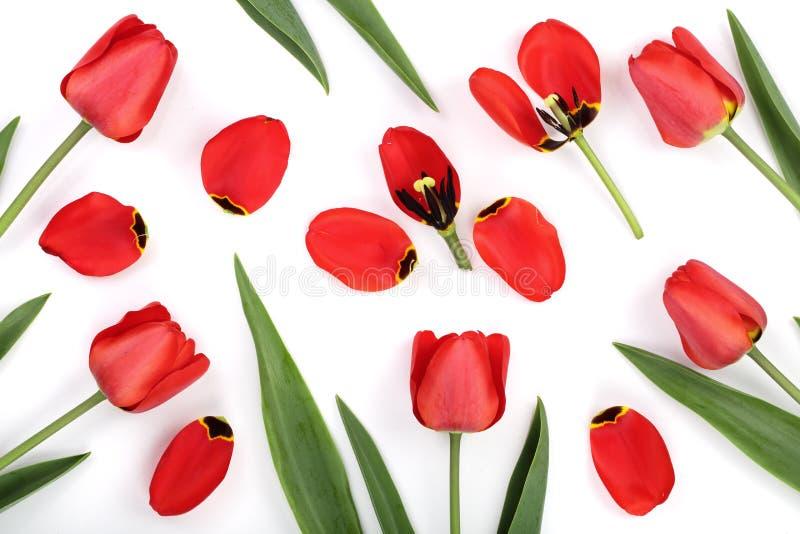 Rode tulpen die op witte achtergrond worden geïsoleerde Hoogste mening Vlak leg patroon stock afbeelding