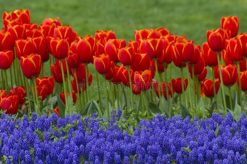 Rode tulpen en blauwe muscaribloemen royalty-vrije stock foto