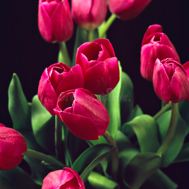 Rode tulpen II stock afbeeldingen
