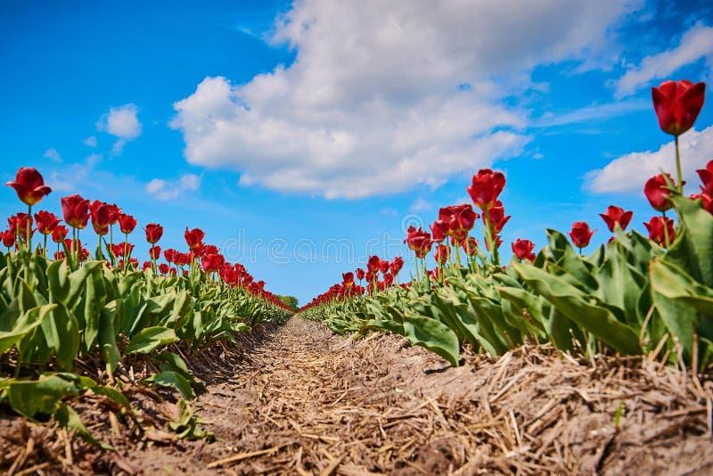 Rode tulpen op een gebied met brede hoeklens royalty-vrije stock afbeeldingen