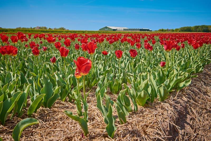 Rode tulpen op een gebied met brede hoeklens stock afbeelding