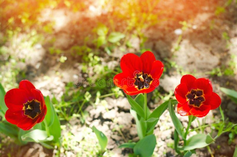 Rode tulpen op een zonnige heldere dag, de lentebloemen in tuin stock foto