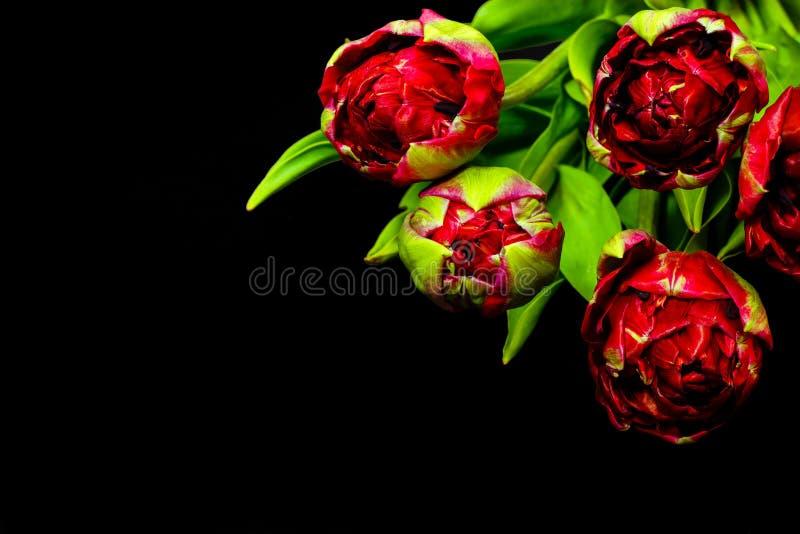 Rode tulpen op een zwarte achtergrond Vrije ruimte voor uw tekst royalty-vrije stock foto's