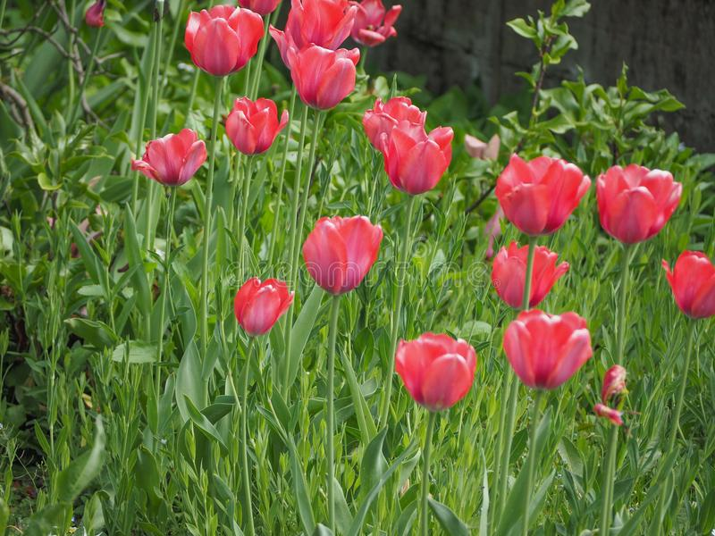 Rode tulpenbloem royalty-vrije stock foto's