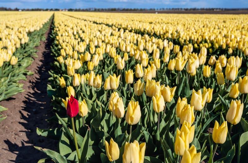 Rode tulpentribunes uit van de gele menigte stock foto's