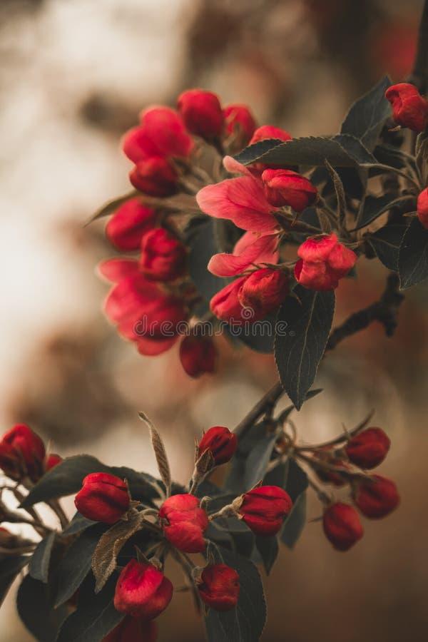Rode uitstekende boombloesems royalty-vrije stock foto