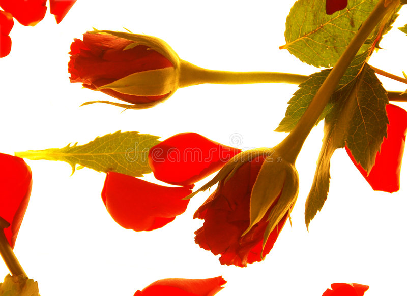 Rode valentijnskaartrozen royalty-vrije stock foto