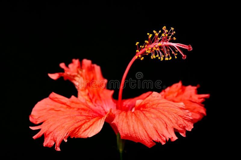 """Rode van """"Hibiscusrosa -rosa-sinensis† van de Hibiscusbloem macro het close-upfoto op zwarte achtergrond royalty-vrije stock foto"""