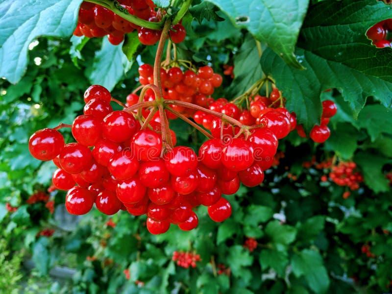 Rode Viburnum-bessen in de boom, de herfstachtergrond stock foto's