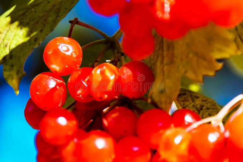 Rode viburnum bij de boom door de herfst stock foto's