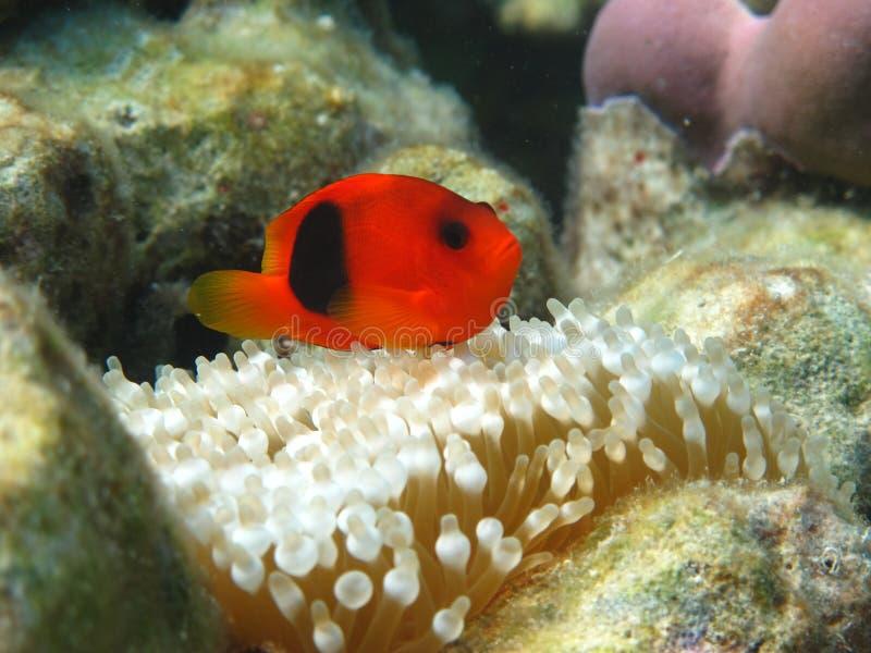 Rode Vissen die met Zeeanemoon spelen stock foto