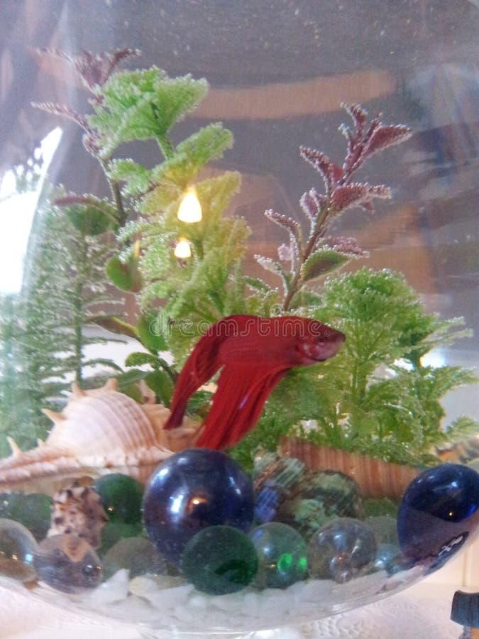 Rode Vissen in een aquarium stock afbeelding