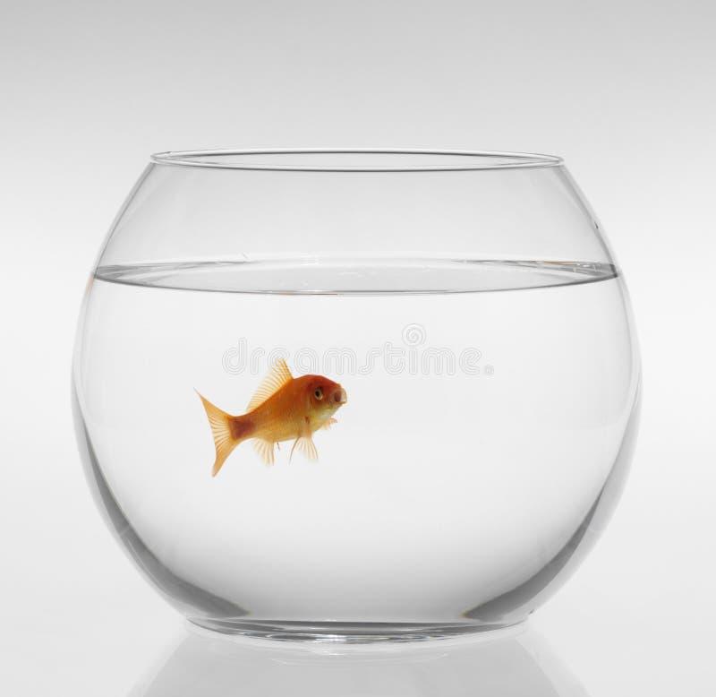Rode vissen in een aquarium op een witte achtergrond royalty-vrije stock afbeeldingen