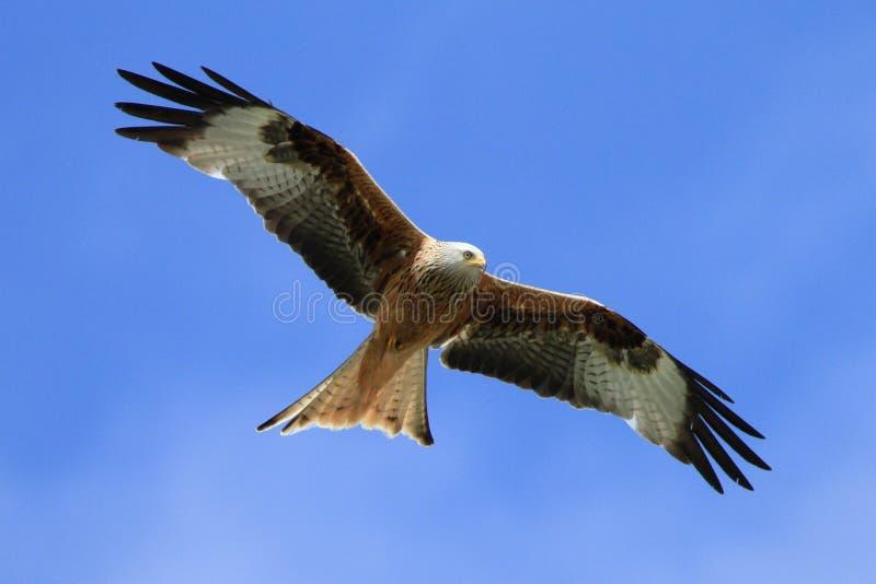 Rode Vlieger (milvus Milvus)