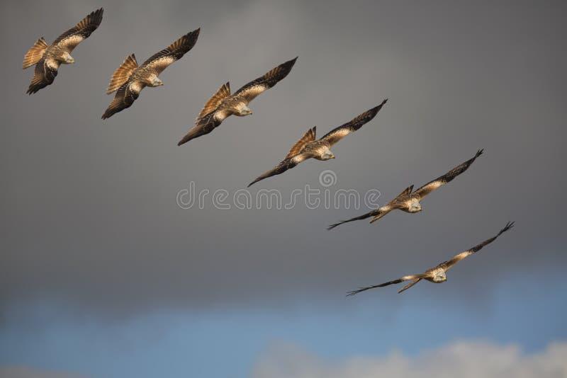 Rode vlieger (Milvus-milvus) roofvogel tijdens de vlucht royalty-vrije stock foto