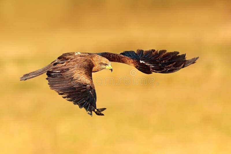 Rode vlieger tijdens de vlucht, Milvus-milvus, roofvogel vlieg boven bosboomweide De jacht van dier met vangst Vlieger met open v royalty-vrije stock foto's