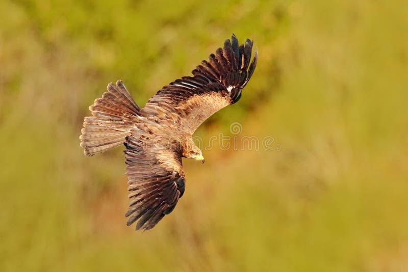 Rode vlieger tijdens de vlucht, Milvus-milvus, roofvogel vlieg boven bosboomweide De jacht van dier met vangst Vlieger met open v stock fotografie