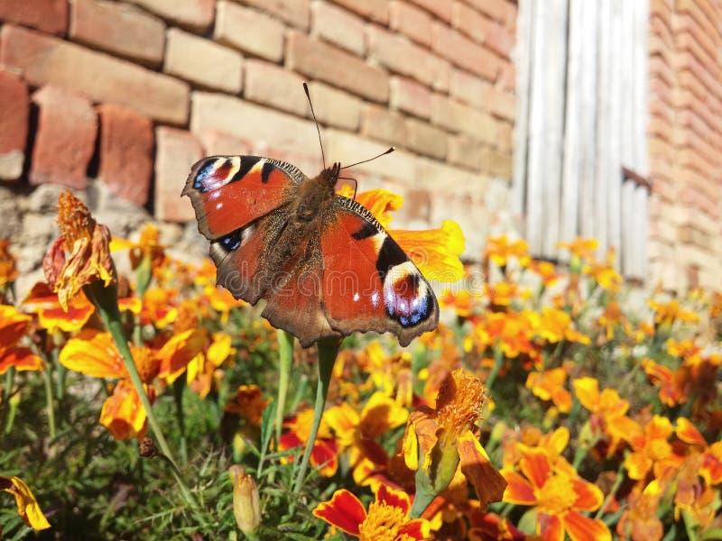 rode Vlinder stock afbeeldingen