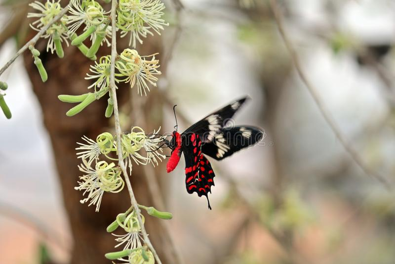 rode Vlinder royalty-vrije stock foto's