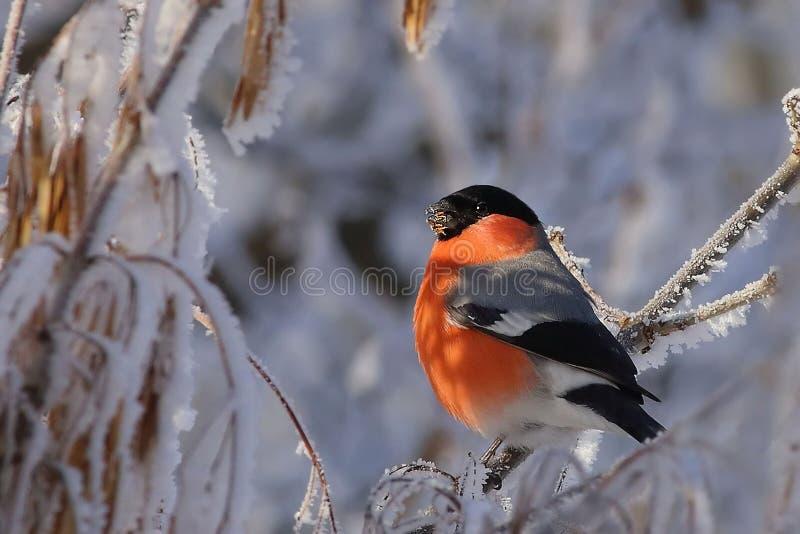 Rode Vogel op een Tak stock afbeeldingen