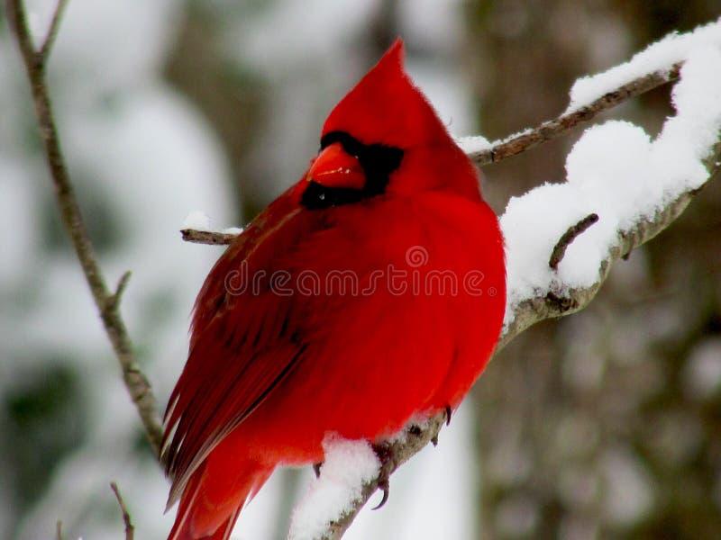 Rode Vogel op sneeuw geladen tak royalty-vrije stock fotografie