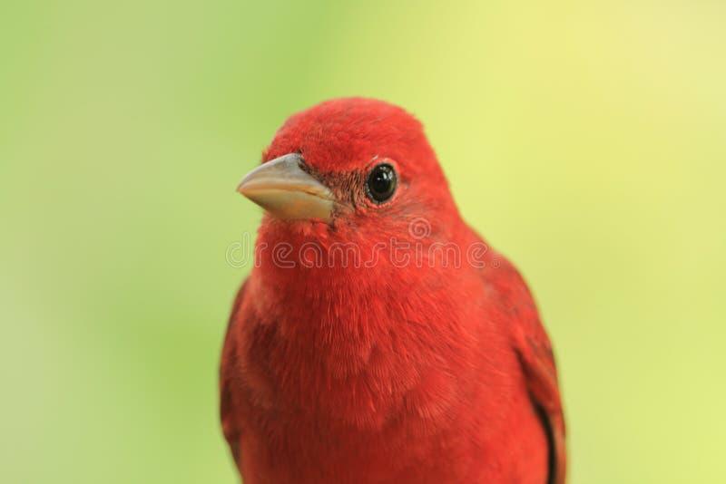 Rode vogel op tak royalty-vrije stock foto