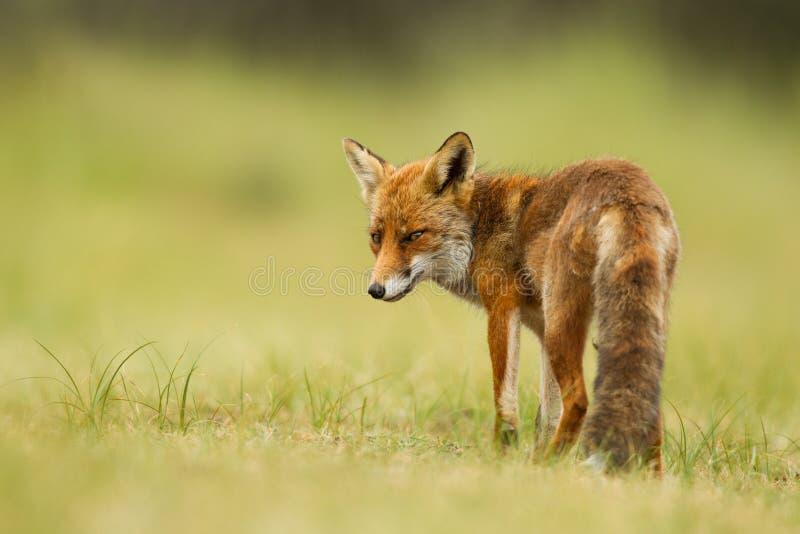 Rode vos stock afbeeldingen