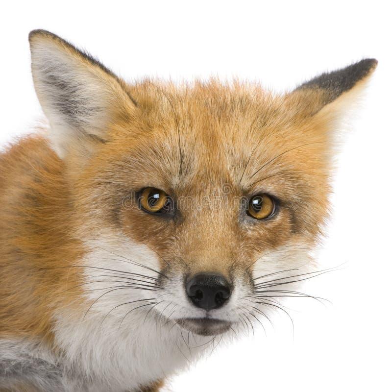 Rode vos (4 jaar) - Vulpes vulpes stock foto's