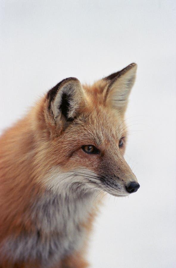 Rode vos in de sneeuw stock foto