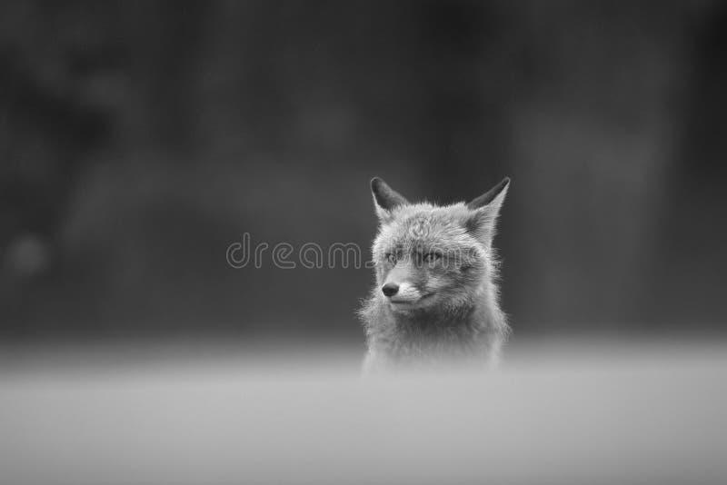 Rode vos in de sneeuw stock afbeelding