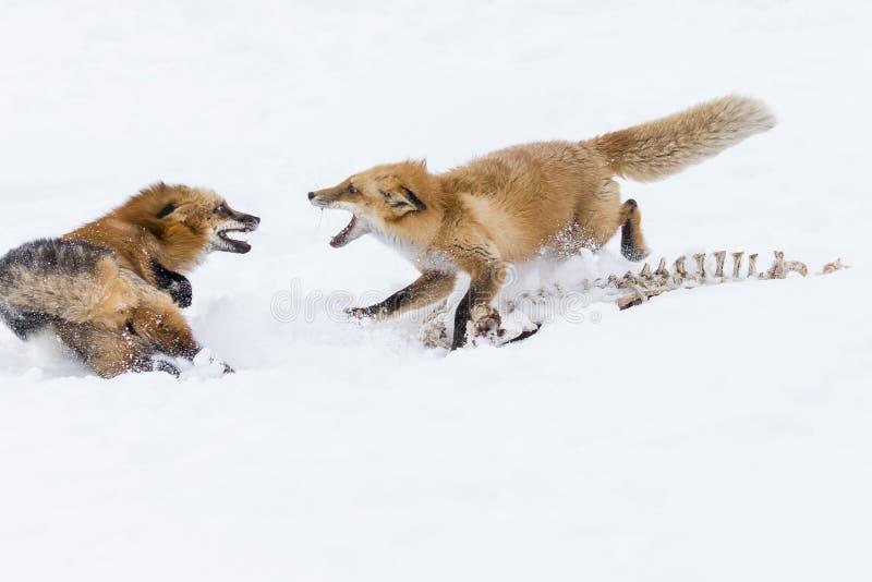 Rode vos in de sneeuw stock afbeeldingen