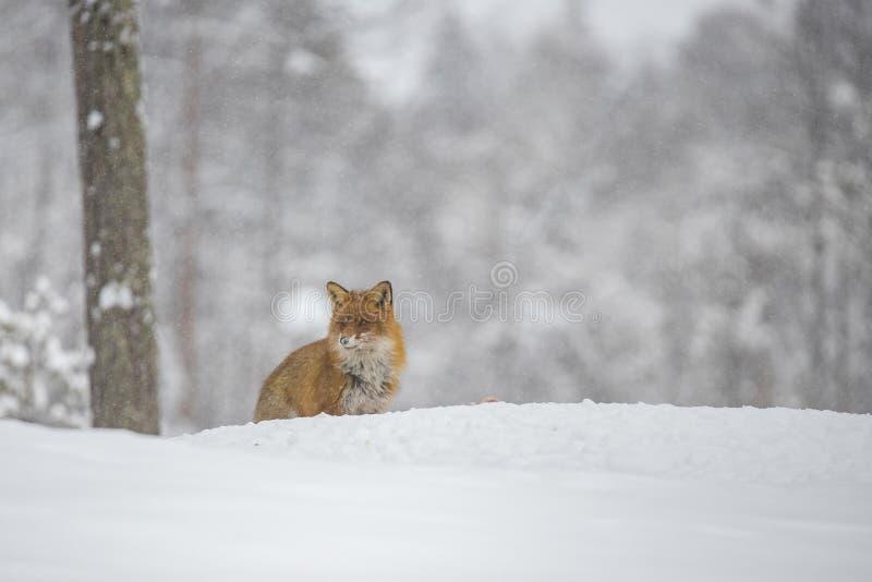 Rode Vos in de Sneeuw, Vulpes vulpes stock foto's