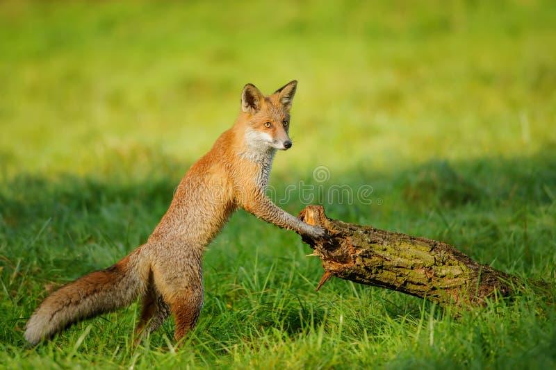 Rode vos die aan boomboomstam leunen stock foto's