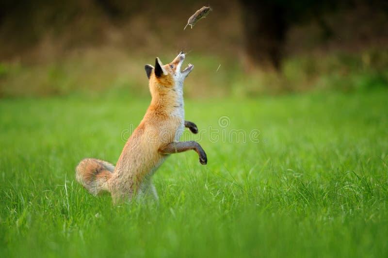 Rode vos die achtervolgde muis werpen op groen gras stock foto's