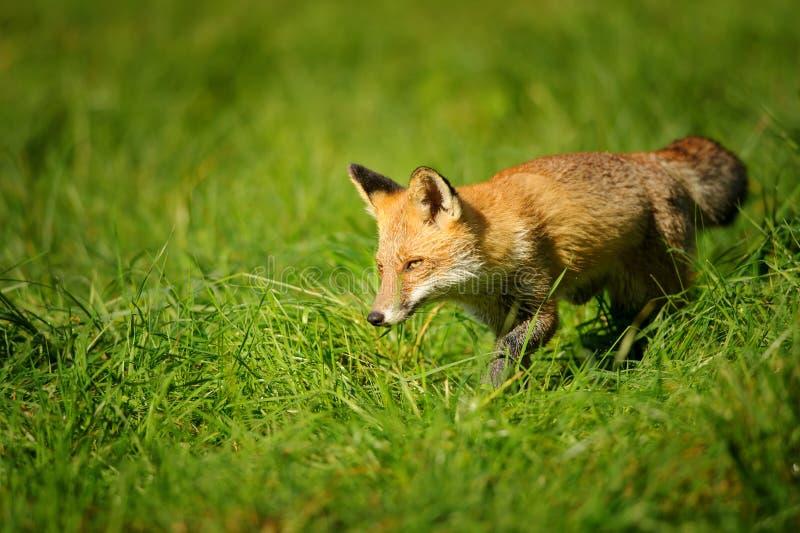 Rode vos die in groen gras lopen stock afbeeldingen