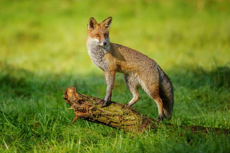Rode vos die zich op boomboomstam bevinden stock afbeeldingen