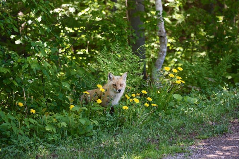 Rode vos in het hout royalty-vrije stock afbeelding