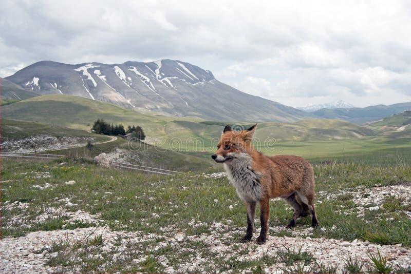 Rode Vos in Landschap, Italië stock foto