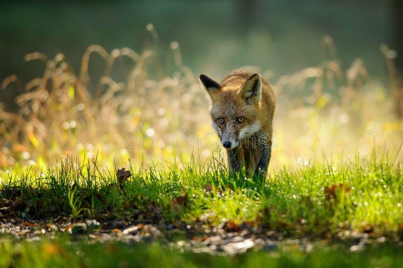 Rode vos van vooraanzicht in de herfst backlight royalty-vrije stock foto