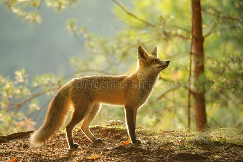 Rode vos van zijaanzicht in schoonheid backlight in de herfstbos stock afbeelding