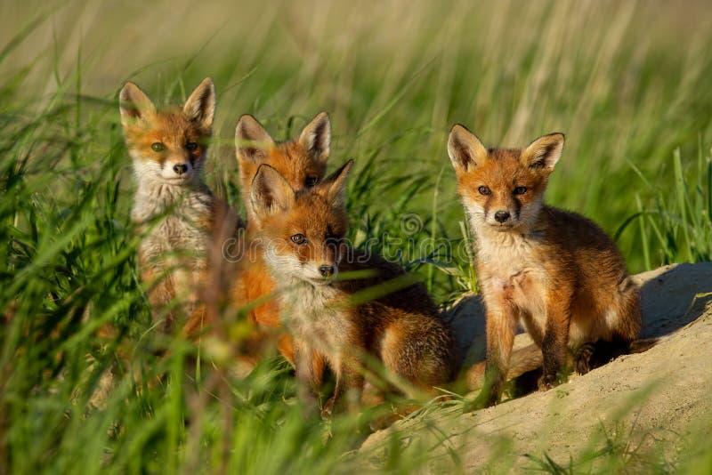Rode vos, vulpes vulpes, familie dichtbij dierlijk hol stock foto
