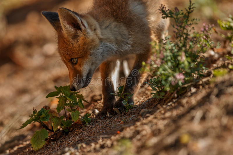 Rode Vos, Vulpes vulpes, bij Europees bos stock foto's