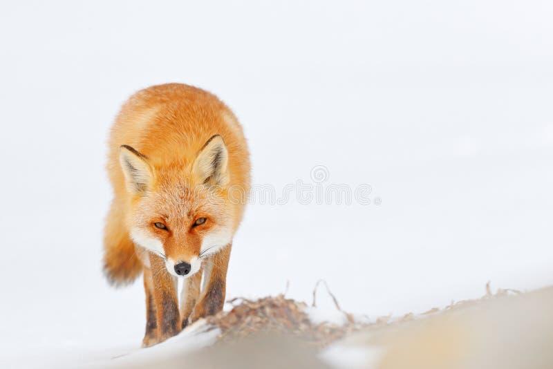 Rode vos in witte sneeuw De koude winter met oranje bontvos De jacht van dier in de sneeuwweide, Japan Mooi oranje laagdier stock foto's